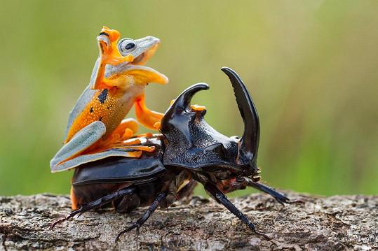 Takhle si žába hraje na kovboje.