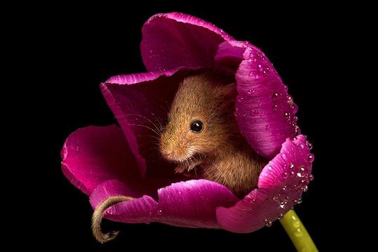 Fotograf zachytil myš v tulipánu.