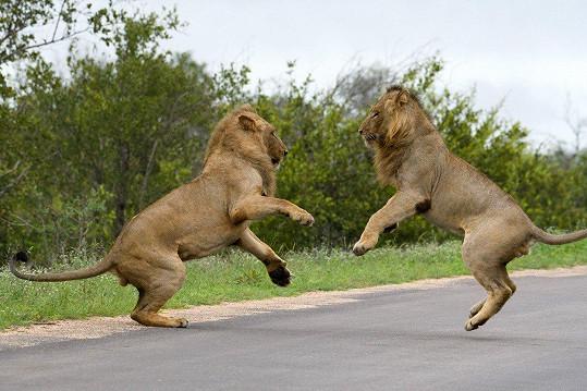 I lev to umí pěkně roztočit.