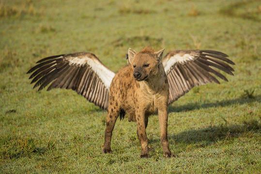 Okřídlená hyena vypadá jako Pegas.