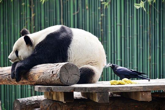 Panda je velmi mírumilovný tvor.