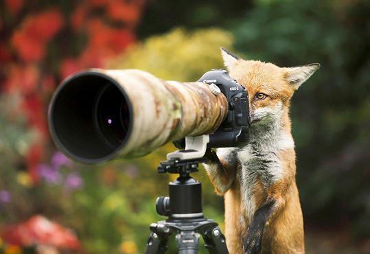 Liška Packa je zvědavé zvíře.