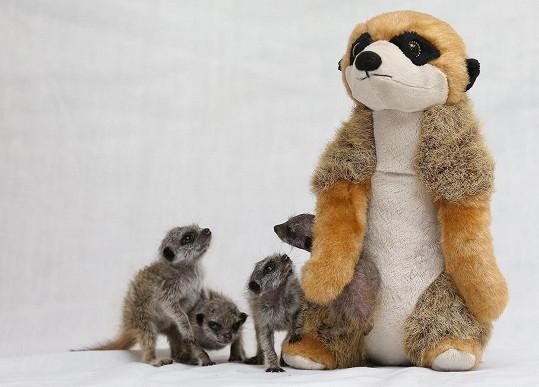 Plyšová surikata zastala roli náhradní mámy skvěle.