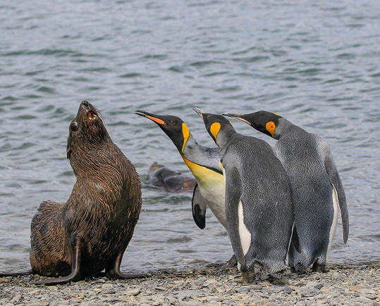 Co si povídají tučňáci s tuleněm?