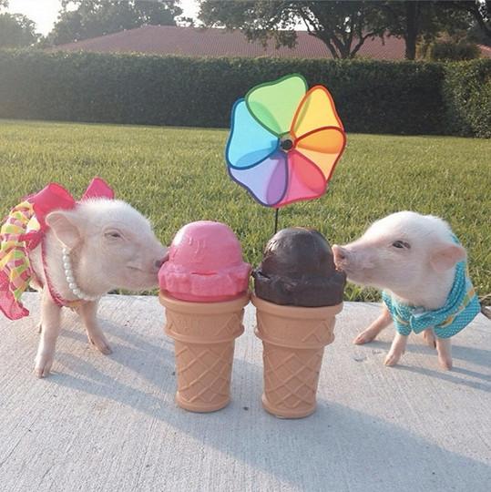 Priscilla a Poppleton milují zmrzlinu.