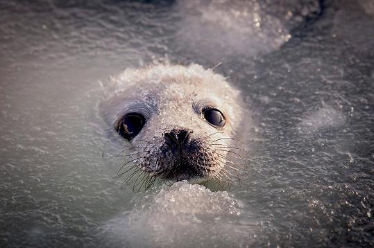 Tulení mládě v ledové koupeli
