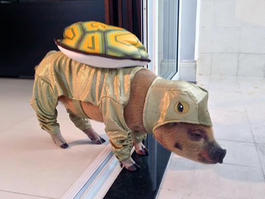 Tohle opravdu není želva, ale prase.