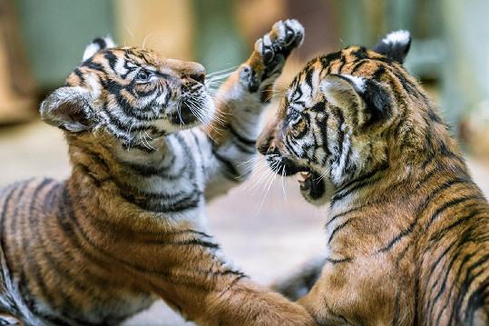 Kapela Laura a její tygři uspořádala koncert na podporu těchto dvou tygrů i dalších ohrožených zvířat.
