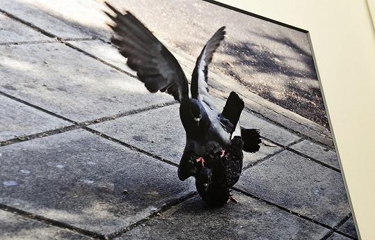 Pářící se holubi v Benátkách