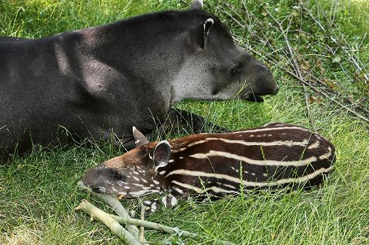Synek se v pražské zoo stal kmotrem mláděte tapíra.