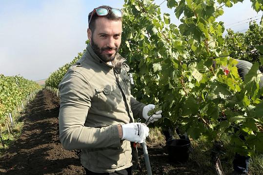 Vašek sklízel víno na vinici.