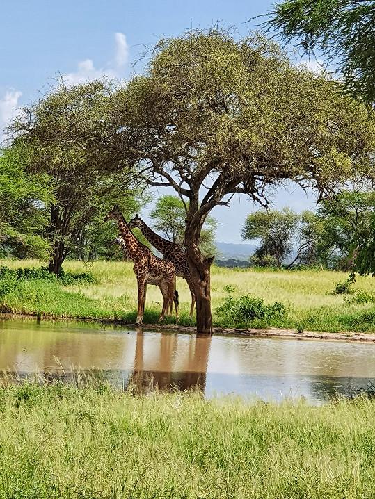 Natrefili i na žirafu.
