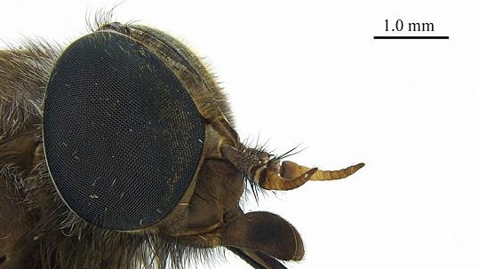Už i Beyoncé má svůj druh hmyzu, je jím tento ovád.