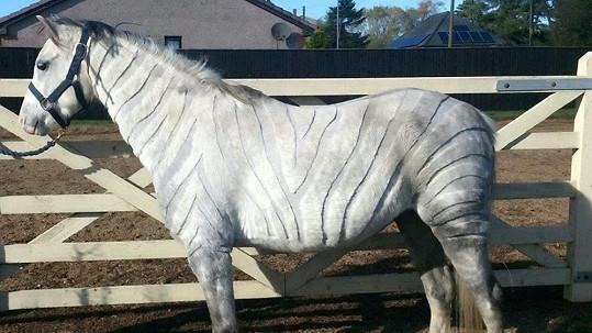 Kůň v zebří kůži