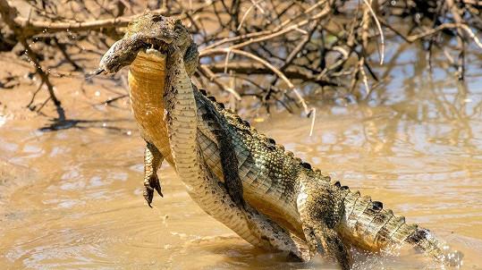 Krokodýl bojoval se zmijí.