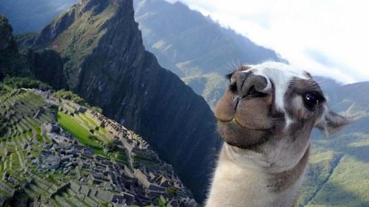 Slávychtivá lama se dožaduje pozornosti.