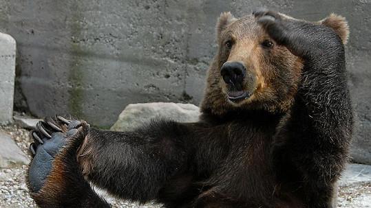 Medvěd Michail předvádí své jogínské cviky.