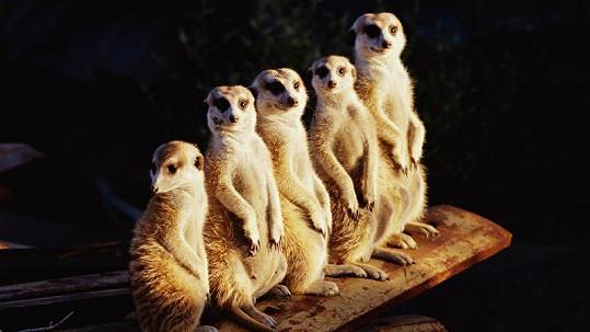 Zvědavé surikaty údajně rády okusují ženám nalakované nehty.