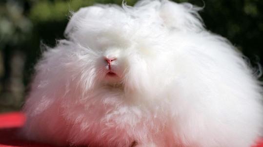 Tento králík má srst dlouhou 36 centimetrů.