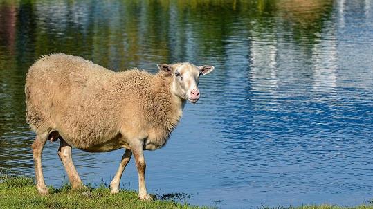 Na ovce u vody bacha! Ilustrační foto