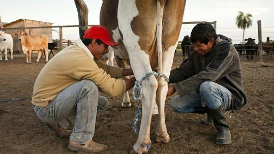 V Číně prý vyšlechtili krávy produkující lidské mléko.