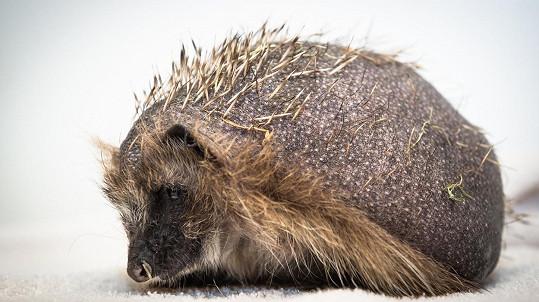 Takhle vypadá téměř lysý ježek.