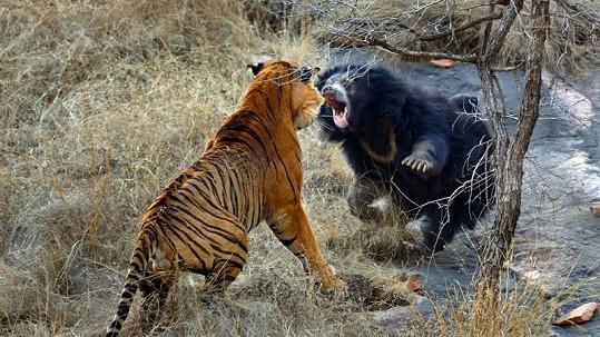 Rozzuřená medvědice se za svá mláďata prala jako lvice.