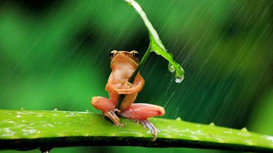 Této žábě déšť příliš nesvědčí.