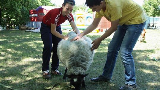 Ne každá ovce chce podrbat. (ilustrační foto)