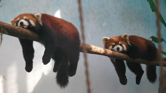 Takhle usínají pandy červené.