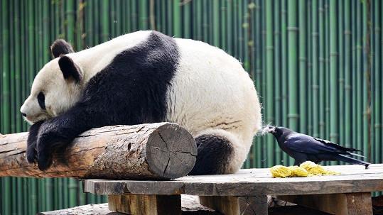 Panda se nechala depilovat vránou.