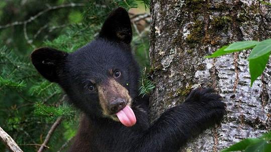 Rozpustilý medvídek na fotografa vyplázl jazyk.