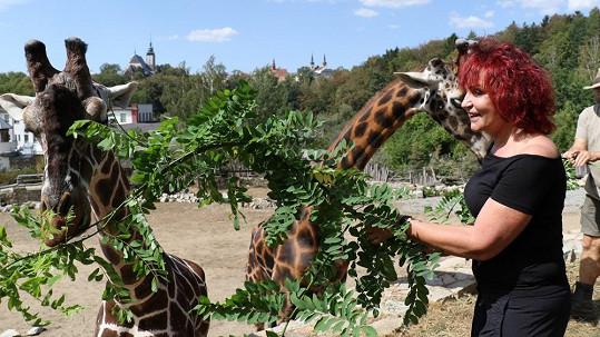 Petra Janů v zoo krmila žirafy.