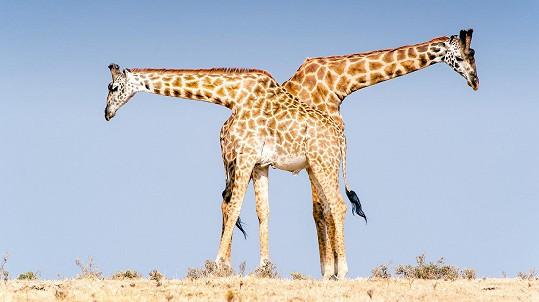 Dvouhlavá žirafa?