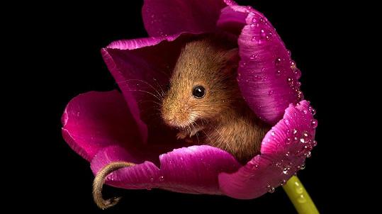 Myška se ukryla v tulipánu.