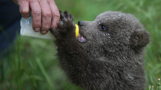 Medvídek je krmený z kojenecké lahve.