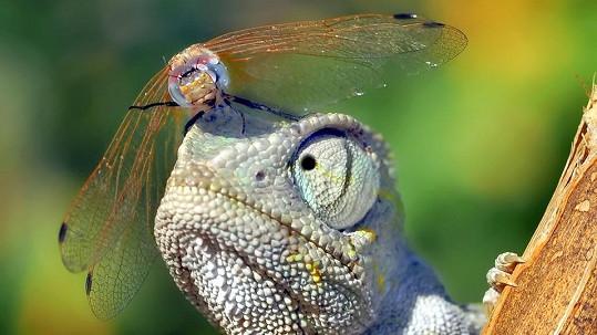 Vážka provokovala chameleona.