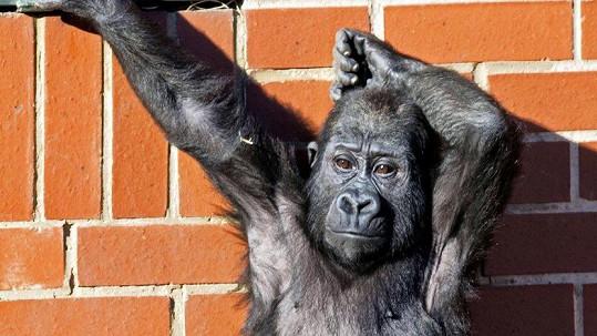 Gorilí mládě bavilo návštěvníky zoo.