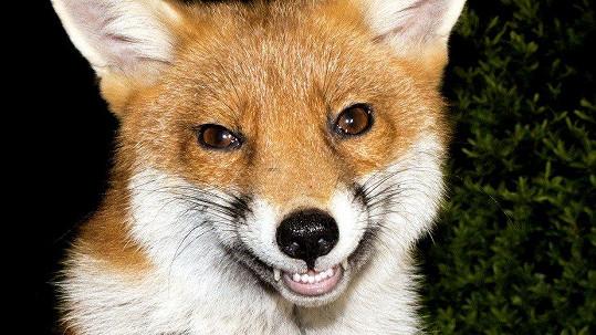 Liška s dokonalým úsměvem