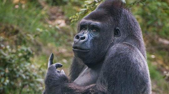 Ne vždy jsou gorily v dobrém rozpoložení...