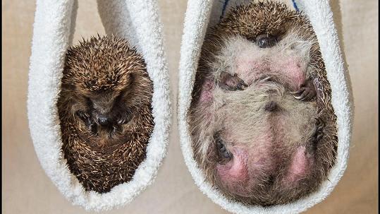 Otylý ježek ve srovnání s běžným kolegou
