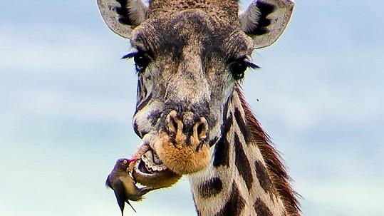 Tato žirafa netrpí zubními problémy.