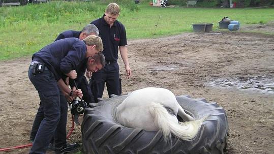 Nešťastné zvíře hledalo jídlo tak usilovně, až se zapletlo do pneumatiky.