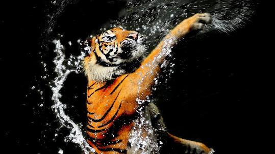 Vodní hrátky s tygrem
