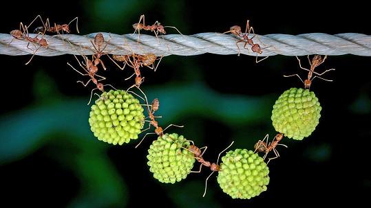 Mravenci vytvořili přírodní náhrdelník.