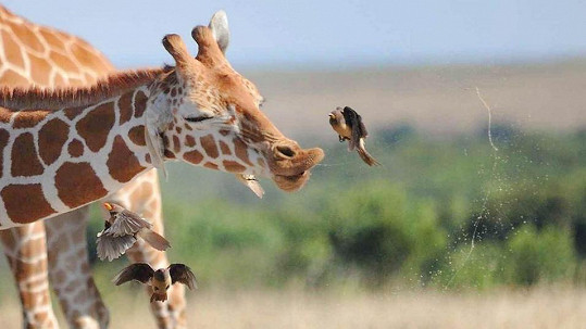 Žirafí kýchnutí má grády.