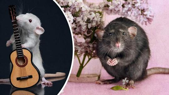 Potkani mohou být velmi roztomilými mazlíčky.