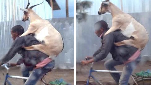Koza si užívala projížďku městem.