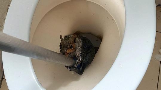 Veverka skončila v toaletě.