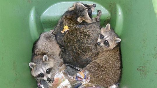 Mývalí rodinka nemohla z popelnice ven.